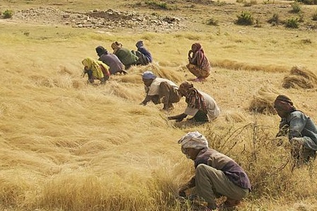 Teff production in Ethiopia