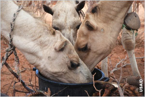 Farmed animals eating from bucket in Kenya