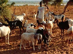 Goats on overgrazed land