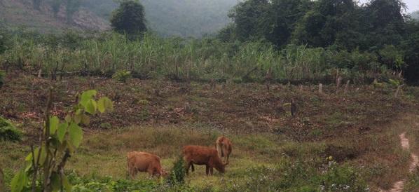 Grazing-Deforestation
